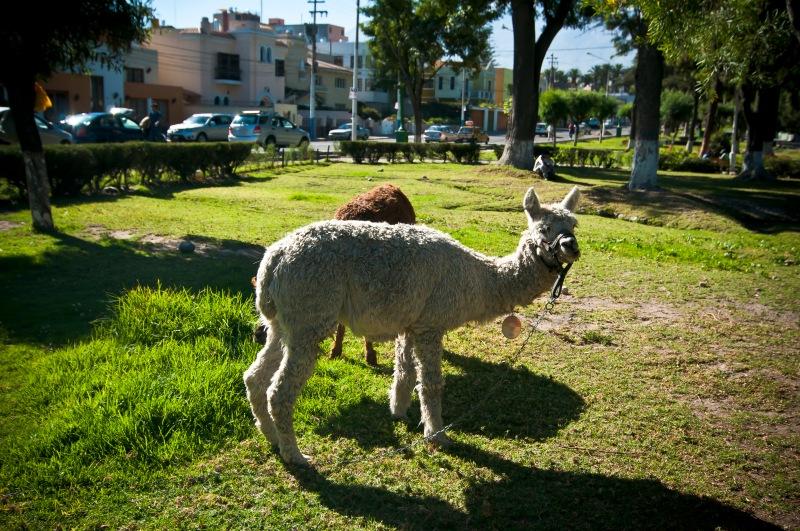 與Alpaca初遇